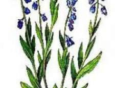Трава істод сибірський, фото