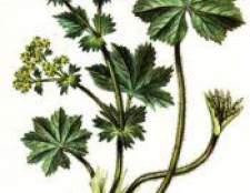 Трава манжетка звичайна - застосування, властивості, лікування, протипоказання, фото