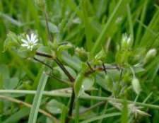 Трава мокриця фото, корисні властивості, лікування