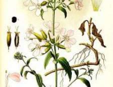 Трава мильнянка - квітка, фото, опис, застосування, протипоказання