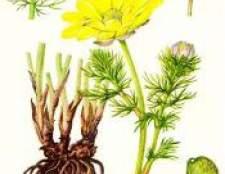 Трава весняний горицвіт (адоніс весняний) - фото, властивості, лікування